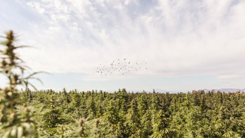 U.S. Hemp Cultivation Could Reach 2.3 Million Acres In 2023