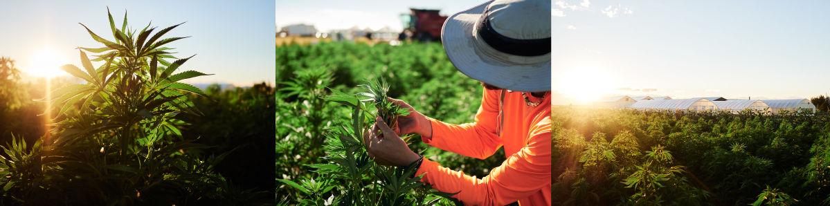 Three image spread. From left to right, sunrise over a hemp plant, field worker inspecting hemp plant, large field of hemp with greenhouses breaching the horizon.